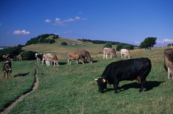 Vaches suisses près du Chalet d'alpage de Chavanne