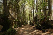 Hêtres Tortueux Allée de la Bletterie Ⓒ Fabien Brosse