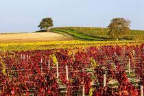 Vignoble de Saint-Pourçain Ⓒ DEJONGHE
