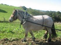 Découverte du cheval de trait au travail - Le Mayet-de-Montagne Astuce Ⓒ Jardins et Chevaux-E. PONSIGNON 2015