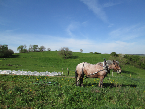 Découverte du cheval de trait au travail - Le Mayet-de-Montagne Ⓒ Jardins et Chevaux-E. PONSIGNON 2015