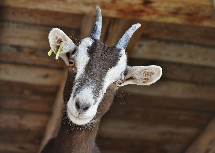 Fête de la chèvre et du Caillé Doux - Terroir en fête - Saint-Félicien