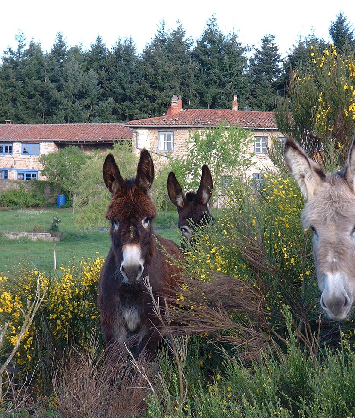 Les ânes du plateau