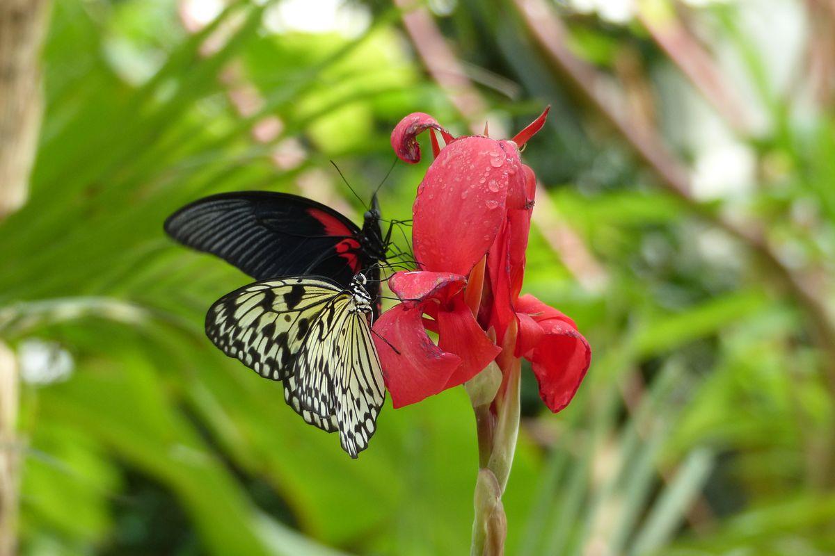 Carbet Amazonien, ferme aux papillons