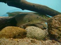 Maison aquarium - Jaligny Barbeaux fluviatiles Ⓒ Maison Aquarium