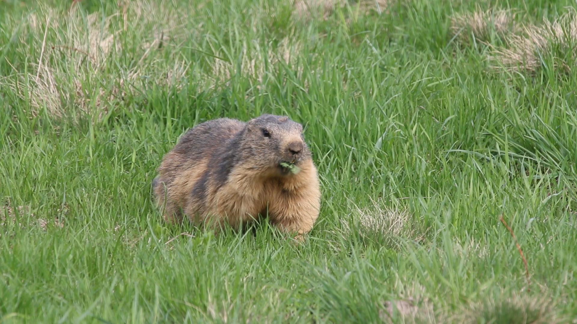 Colonie de marmottes