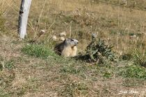 Balade et observation des marmottes - Sagnes-et-Goudoulet