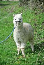 Les lamas du tilloux Ⓒ Anne-Laure Ducrocq