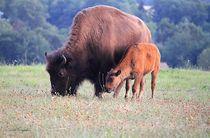 Bisons d'Auvergne Le troupeau Ⓒ Arti'Graphie