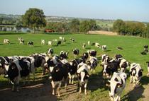 Le Petit Franchesse Vaches laitières Ⓒ Site internet - 2020