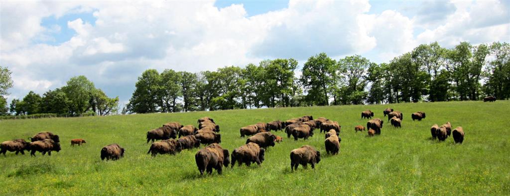 Bisons d'Auvergne Le troupeau Ⓒ Christel et Matthieu Peron