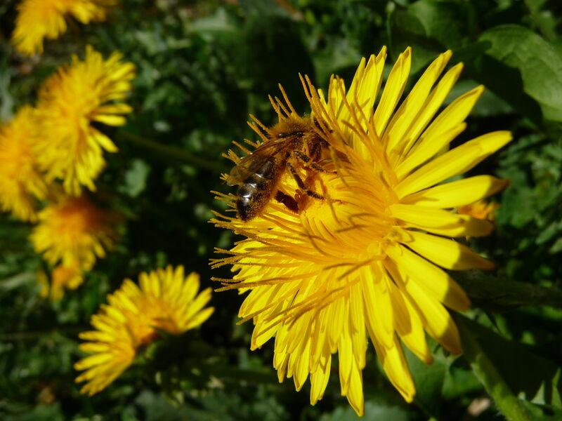 abeilles - © L.Marchand