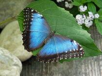 morphos-jardindespapillons-die