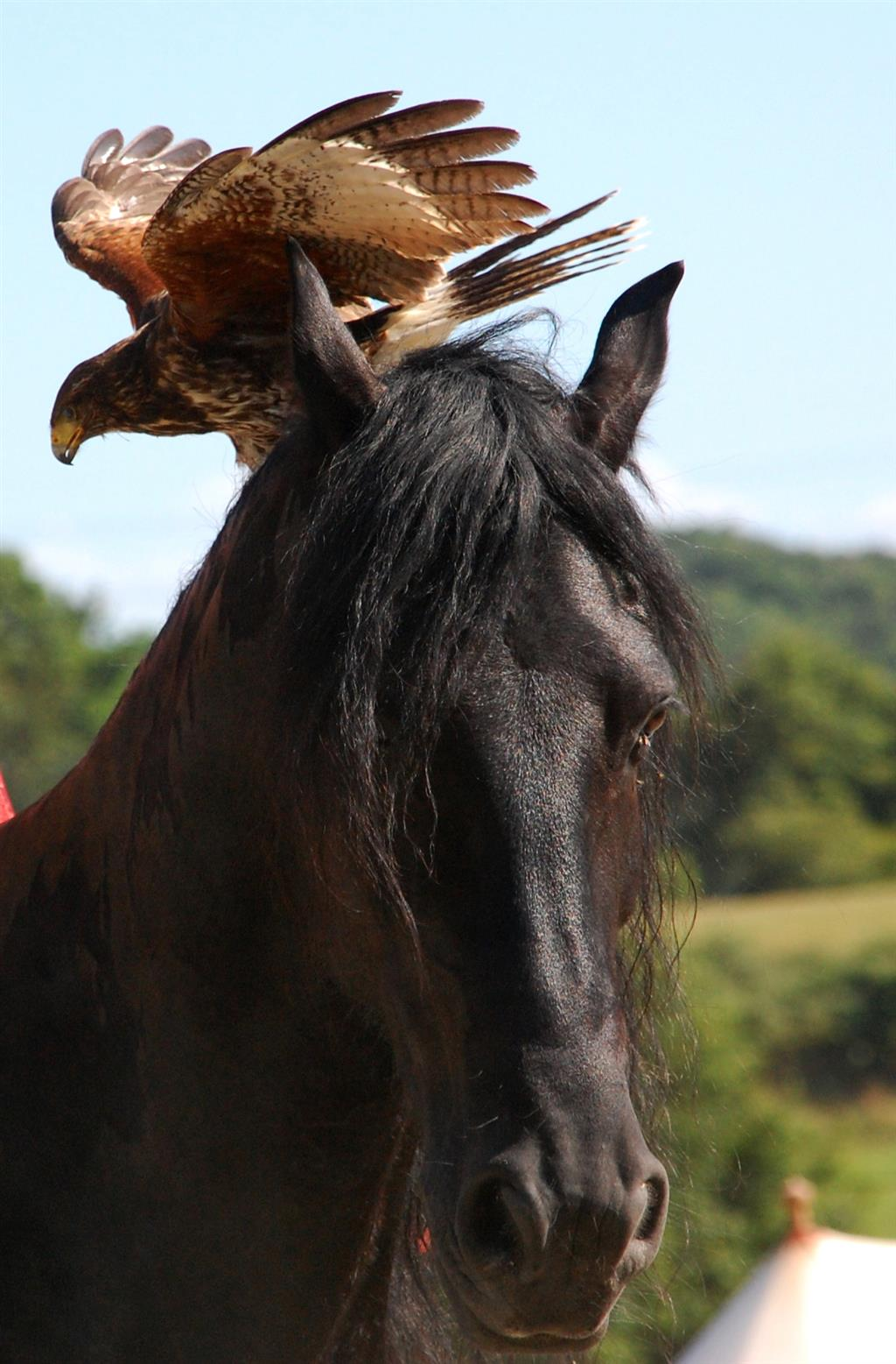Hippogriffe Chevaux et rapaces (2) Ⓒ Hippogriffe - 2014