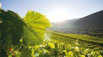 vignoble du Cerdon Route du Bugey