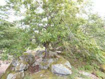 le chêne du druide Ⓒ Carol Bogros-Fonteneau