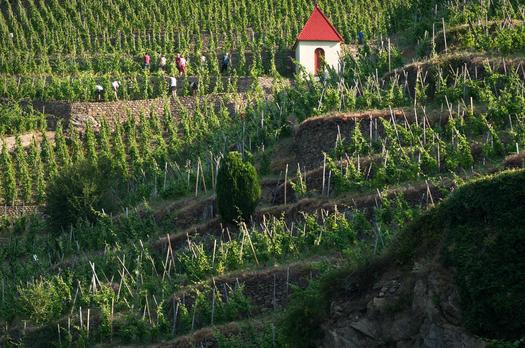Vue parmi les vignes