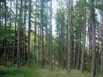Futaie de Mélèzes - Forêt domaniale de bois-vert - © Fr. Latreille