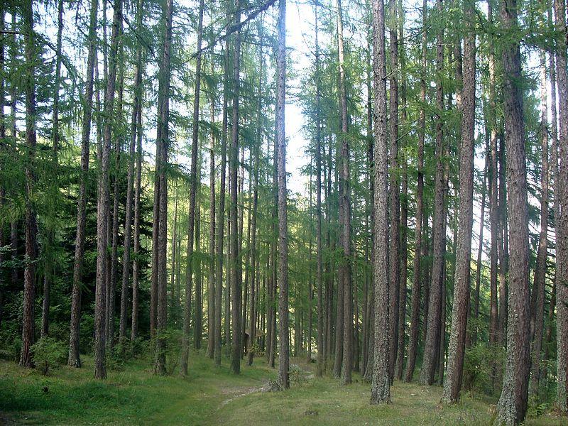 Futaie de Mélèzes - Forêt domaniale de bois-vert