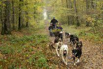 Itinérance Mushing Cani rando en forêt Ⓒ Itinérance Mushing