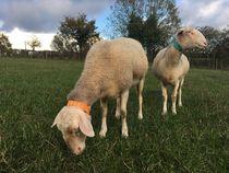 Ferme de la Passiflore - Rocles Moutons Ⓒ Ferme de la Passiflore - Rocles - 2019