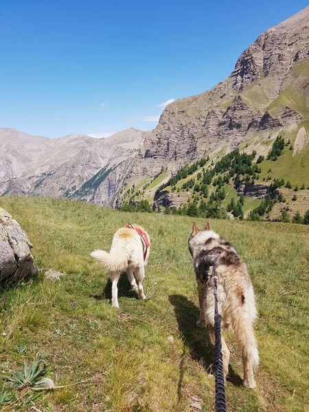 Wild Expériences chien de traîneau - © Wild Expériences chien de traîneau