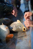 Vente de poissons vivants