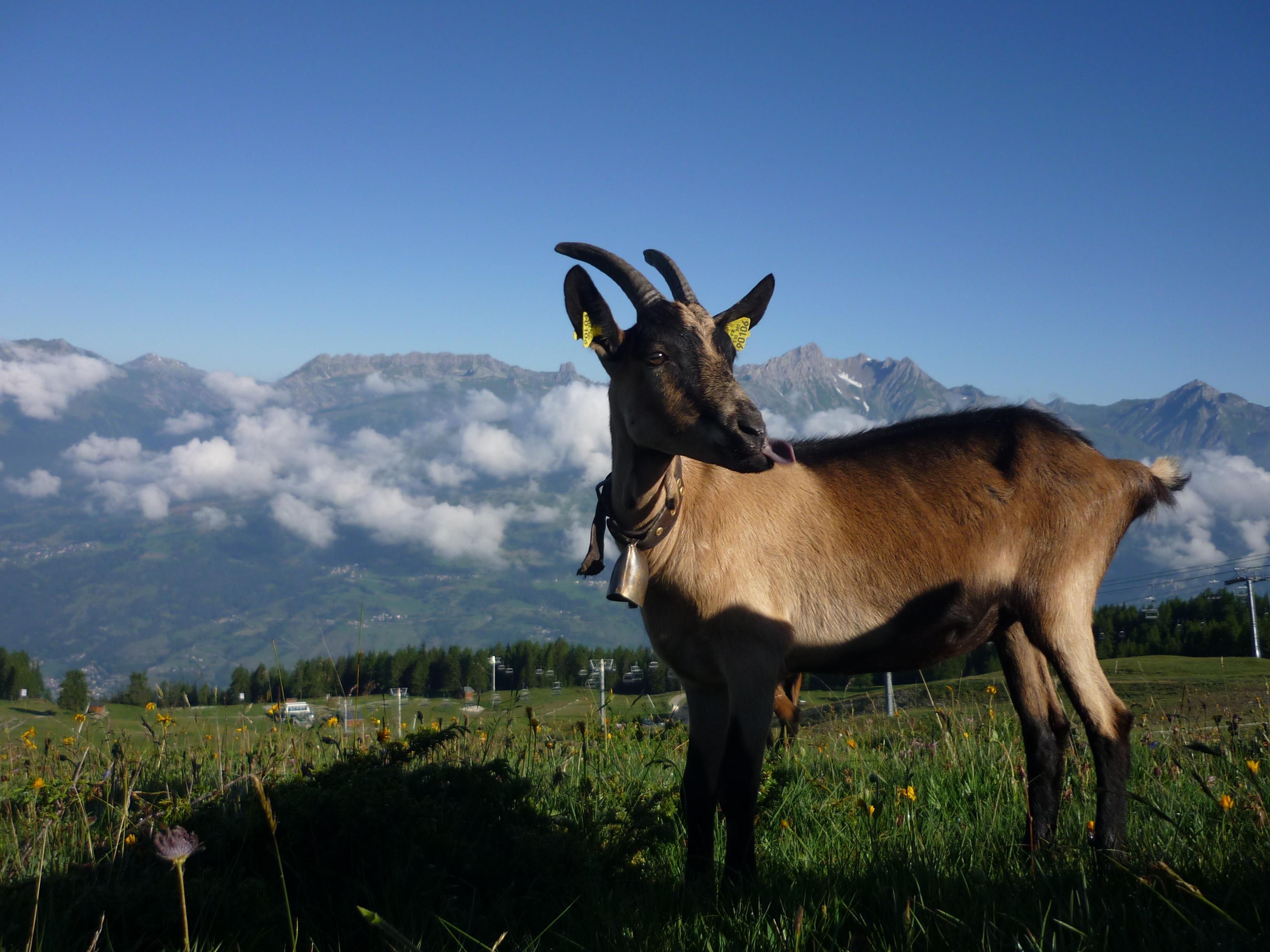 Chèvre à la bergerie du Rey
