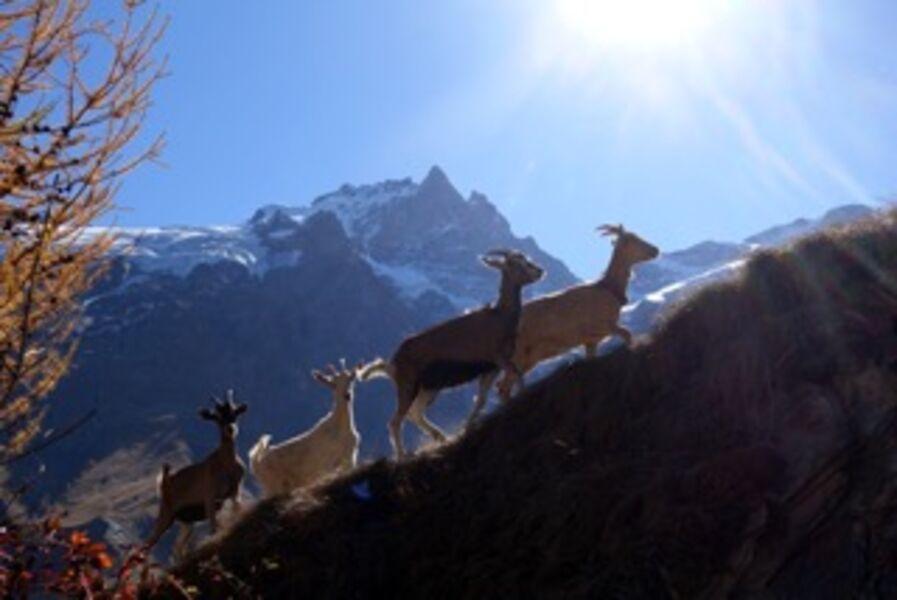 Balade en compagnie des chèvres