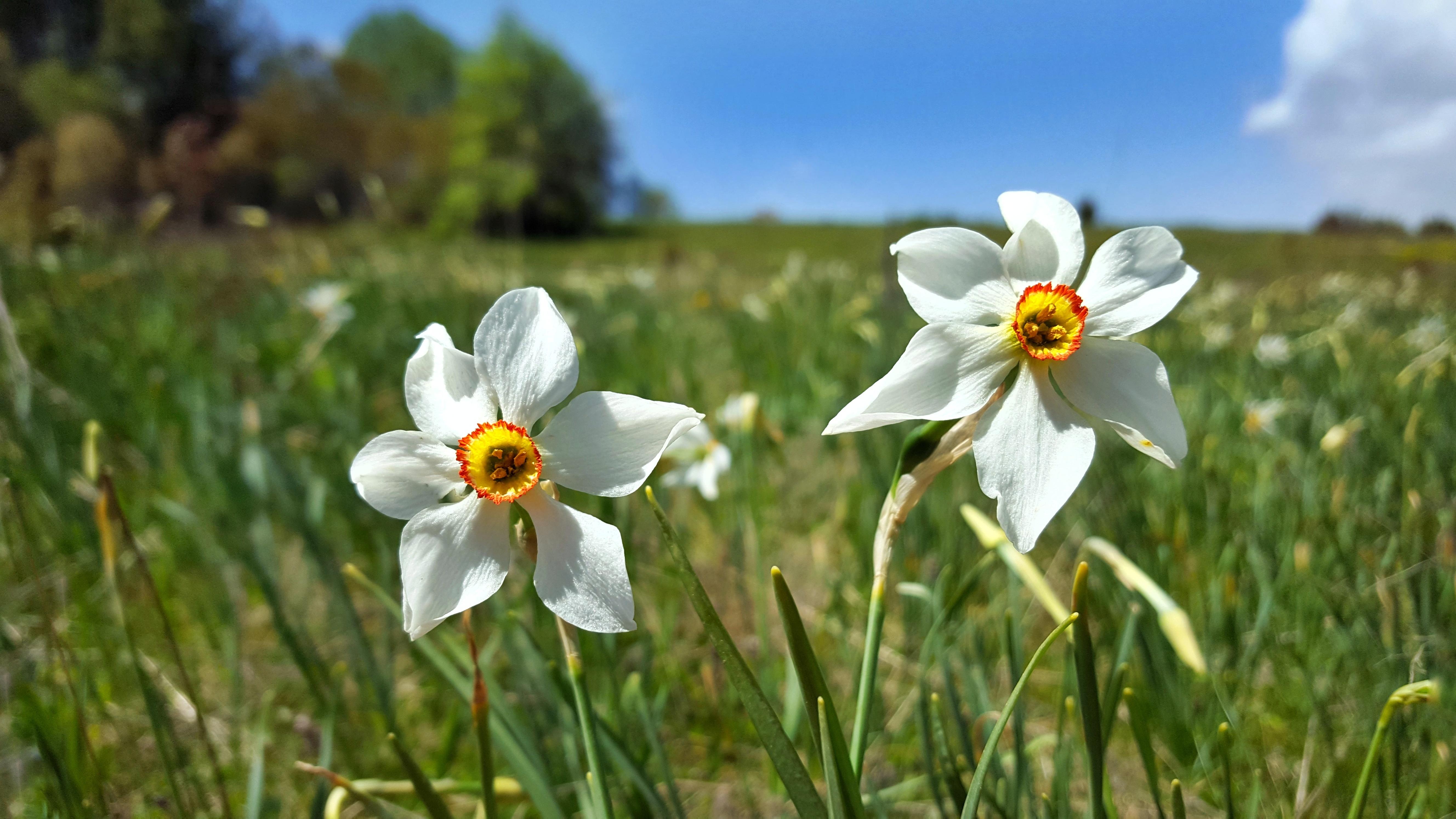 Narcisses sur les Plateaux d'Hauteville & Retord