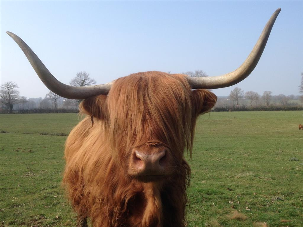 Domaine de la Ganne vache Highland Ⓒ Domaine de la Ganne