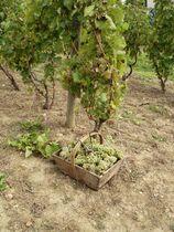 Conservatoire des anciens cépages Pied de vigne Ⓒ Conservatoire des anciens cépages