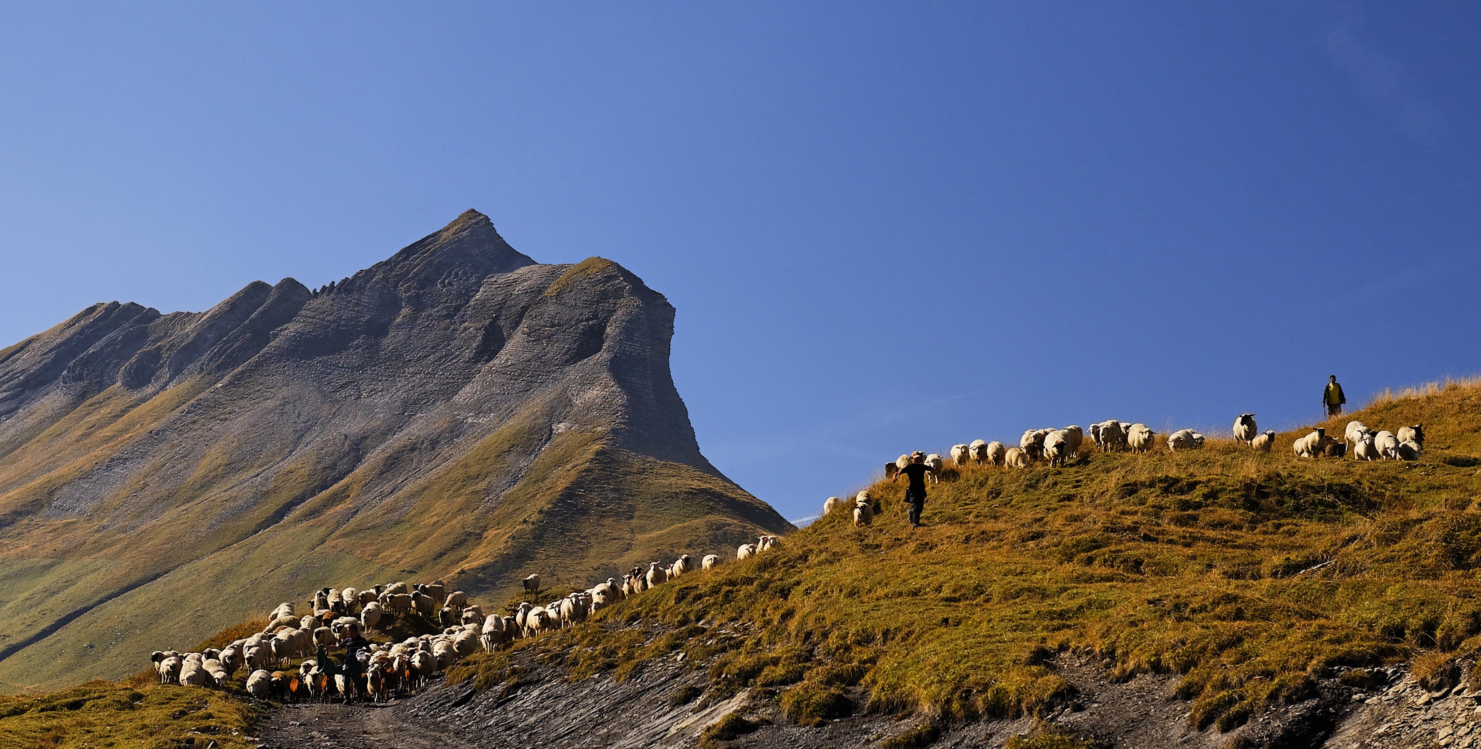 Vue sur Croise Baulet, moutons en estive aux Bénés
