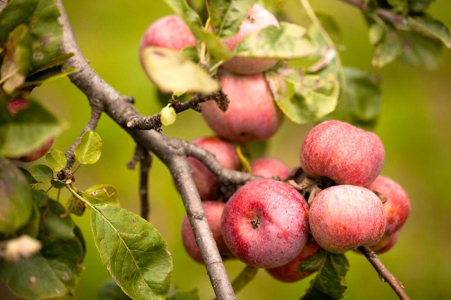 Fête de la pomme - Prades
