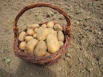 sitraEVE355884_365731_pommes-de-terre