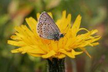 Fleur papillon - @tinepaul