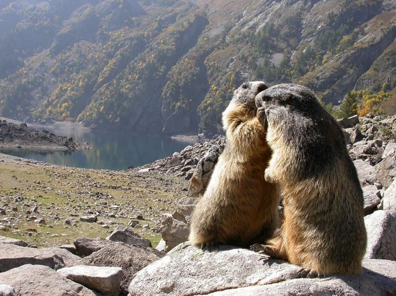 Marmotte se faisant mutuellement la toilette - ©Denis.Fiat_PNE