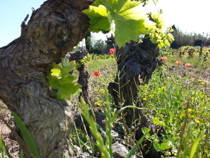 Castell Reynoard Vineyard - Grape - Julien Castell