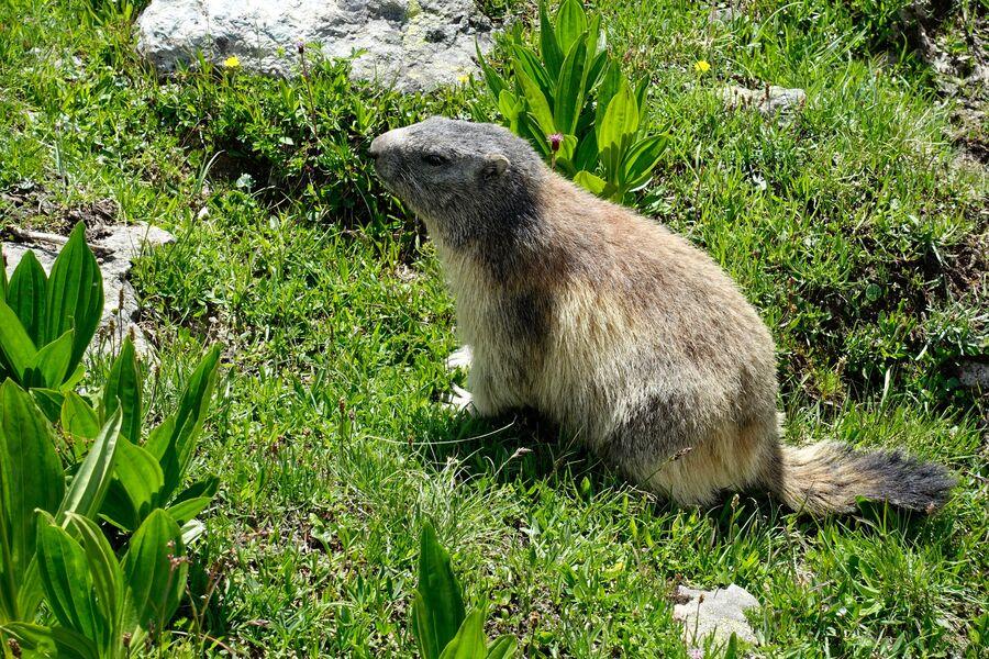 La vie secrète de la marmotte