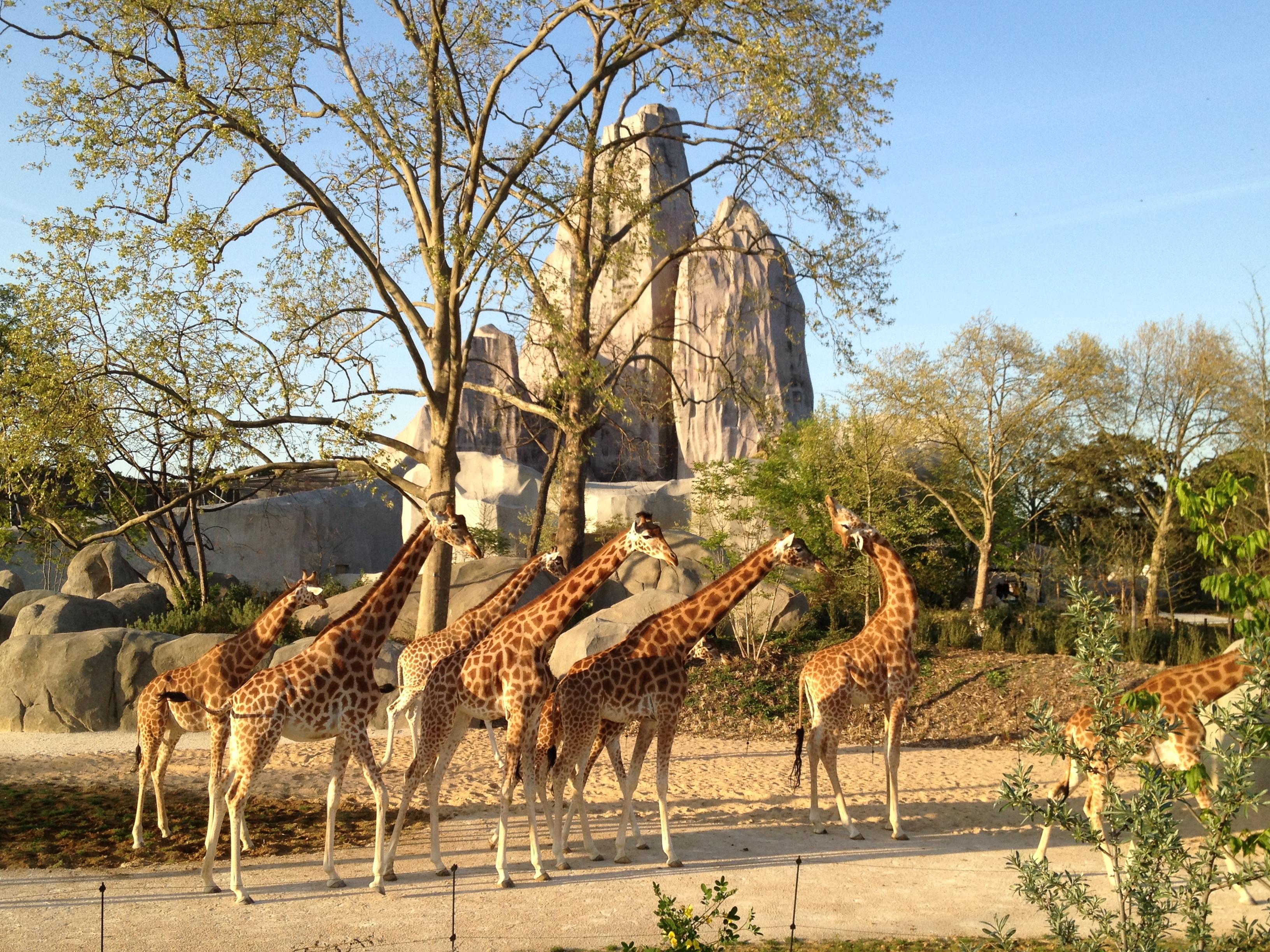 Parc zoologique de Paris - Girafes