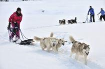 Initiation à la conduite au traineau à chiens