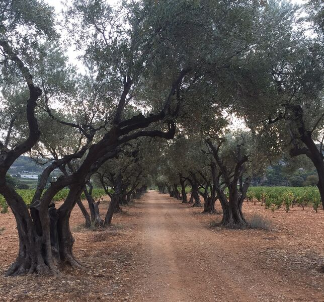 Walk of juniperus's oven - Olve-trees' Alley - Sophie Delsanti