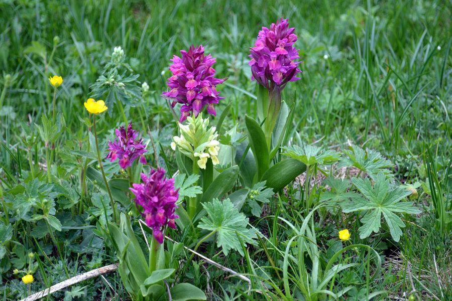 Orchis sureau - Dactylhoriza sambucina - Orchidacées - ©Anne.Merry.com