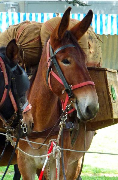 Rando itinérante et portage par une mule