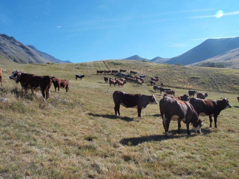 Les vaches, reines de la journée - @OTLaMeije
