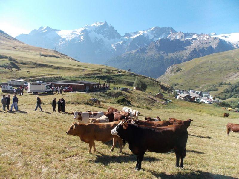 Les vaches + les maquignons qui font affaire - @OTLaMeije