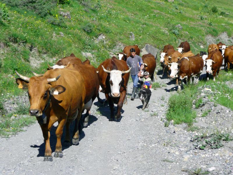 La Montée en alpage des vaches à lait vers la fin juin
