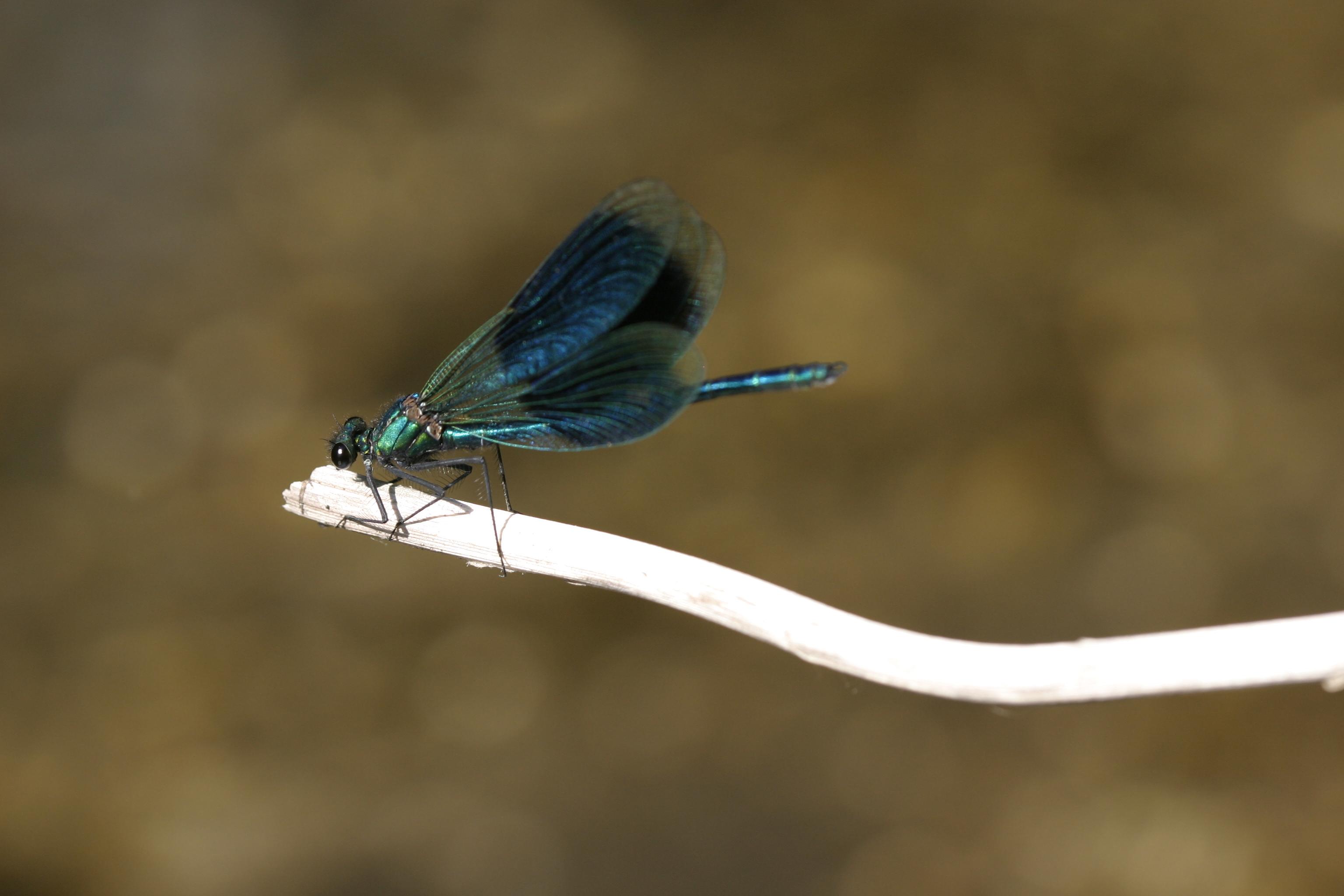 Calopteryx splendens - G.Delcourt - Lo Parvi