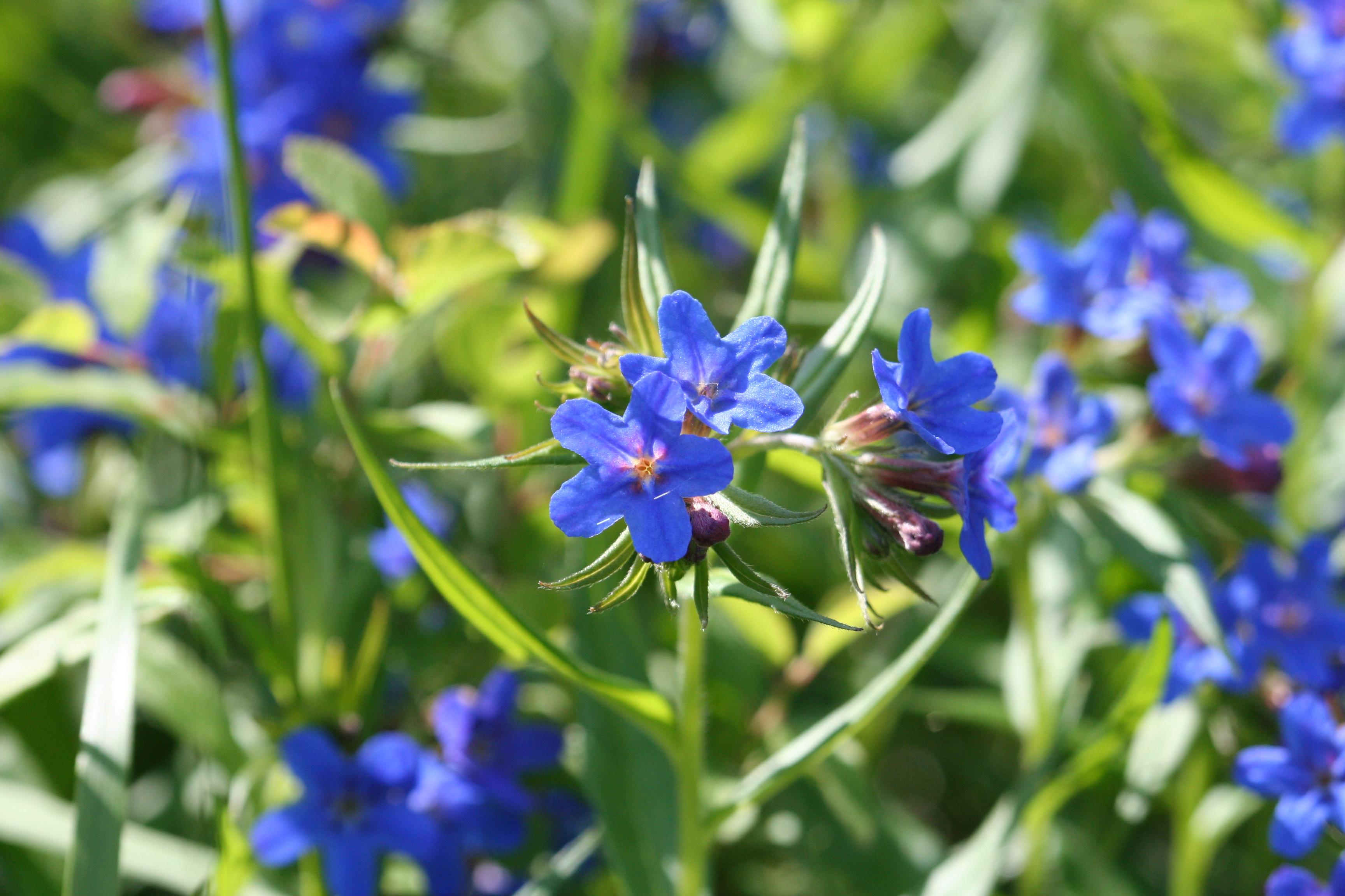 Lithospermum purpuro-caeruleum - R.Quesada - Lo Parvi