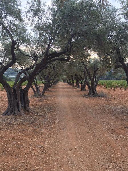 Allée d'oliviers - Allée d'oliviers du GR - Sophie Delsanti